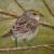Wright.J. sparrow thumbnail